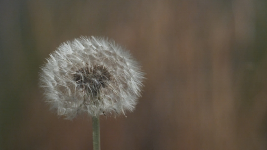 A dandelion seed head having its seeds blown off.